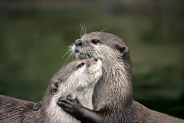Two otters hugging by Woodland Trust   Confetti.co.uk